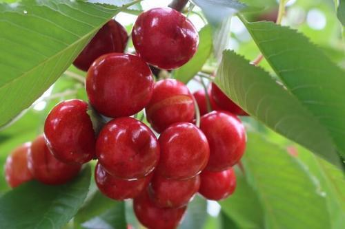 cherry-3431687_640